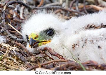 Gorgeous white bird of prey chicks: Rough-legged Buzzard....