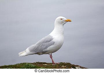 snowy white Arctic gull - the glaucous gull, Novaya Zemlya...