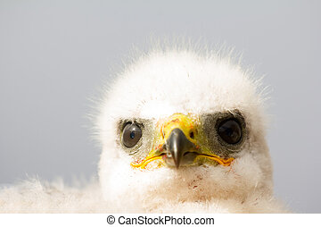 Gorgeous white bird of prey chicks: Rough-legged Buzzard...