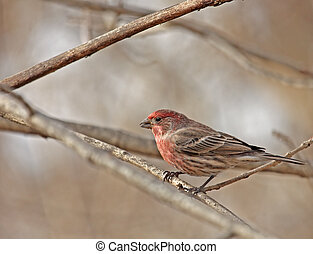 House Finch (Carpodacus mexicanus) - Male house finch...