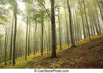 Autumn beech forest in misty weather
