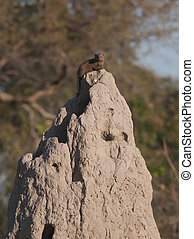 Mongoose on a anthill in Botswana game reserve