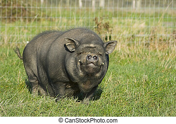 Pig - A Vietnamese pot bellied pig smilimg at the camera