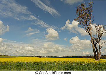 Fields of golden canola flowering in the springtime