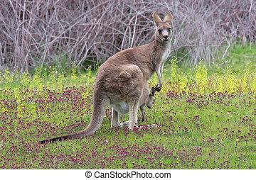 Eastern Grey Kangaroo with Joey - Eastern Grey kangaroo...