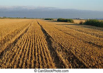 mown field rye wheat