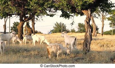 White goats grazing under the trees at sunny day