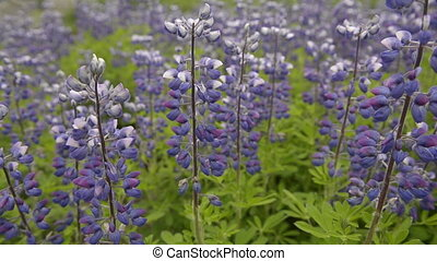 Lupin - Slider dolly shot over Lupin flowers