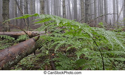 Forest floor with ferns - Dolly shot over ferns over a misty...