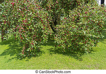 Apple trees with ripe apples