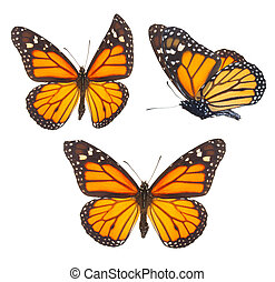 Monarch butterfly - Set of orange monarch butterflies...