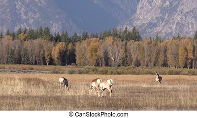Pronghorns in the Fall rut - a herd of pronghorn antelope in...