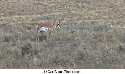 Young Pronghorn Buck - a young pronghorn antelope buck on...