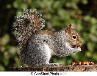Grey Squirrel - Portrait of a Grey Squirrel eating hazelnuts