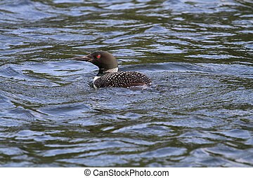Common Loon in late summer afternoon sun