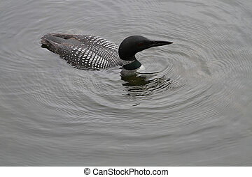 Common Loon fishing in northern lake late summer