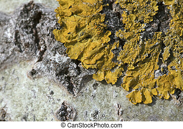 Lichen on a tree - Macro shot of yellow lichen on a tree