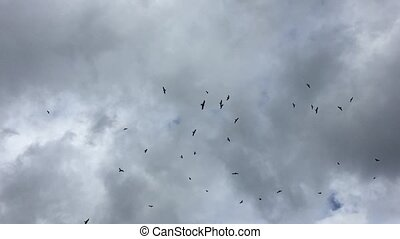 Flock of eagles circling in the gray sky