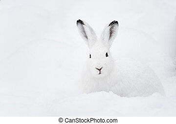 Mountain Hare lat Lepus timidus with white fur sitting in...