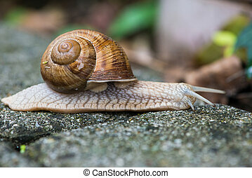 snail helix pomatia - close up to snail helix pomatia