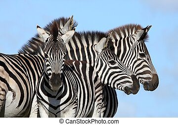 Zebra Group - Family group of Burchells zebras with bold...