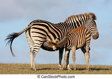 Baby Zebra Nursing - Baby zebra foal drinking from its...