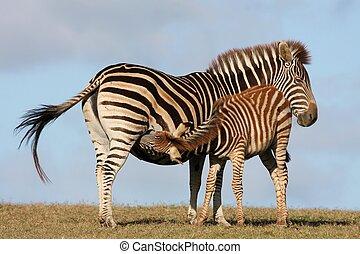 Baby Zebra Nursing - Baby zebra foal drinking from it\'s...