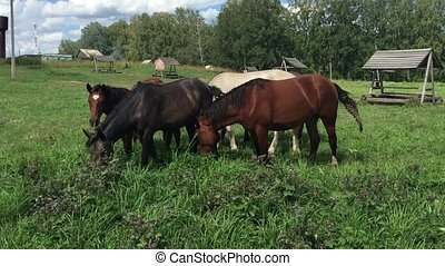 Herd  horses grazing on a green meadow