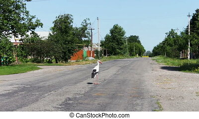 Stork walking on the road. - Big stork white with black...