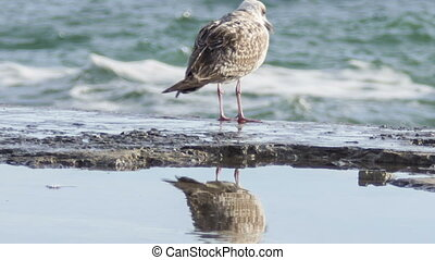 Seagull on the breakwater - Seagull walking on the...