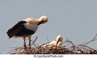Storks are sitting in a nest on a pillar - Several storks...