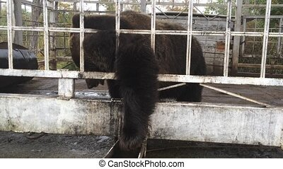 Brown bear pulls cookies paw through the bars.