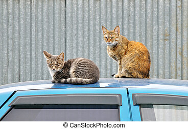 Two wild cats sit on the roof of the blue car