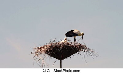 Storks are sitting in a nest on a pillar. - Several storks...