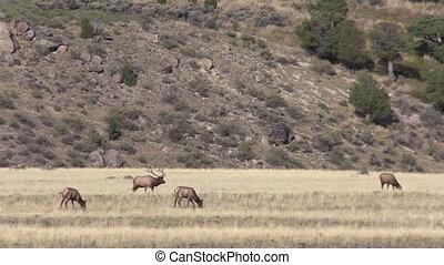 Elk Herd in the Fall Rut - a bull elk with his cows during...