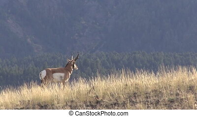 Pronghorn Buck - a pronghorn antelope buck on a ridge