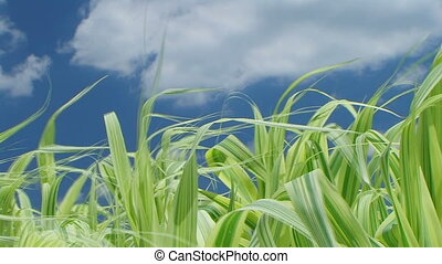 Grass Against Sky With Clouds