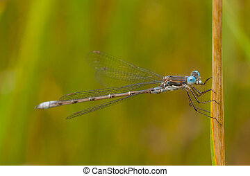 Damselfly Macro - A macro of a thin-winged damselfly with...