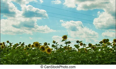 Sunflowers in a field in the background moving clouds.