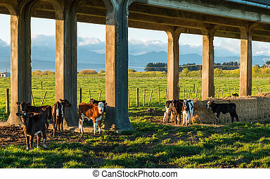 Trestle Bridge Calves - Group of young calves under a...