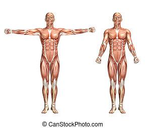 3D male medical figure showing shoulder scaption - 3D render...