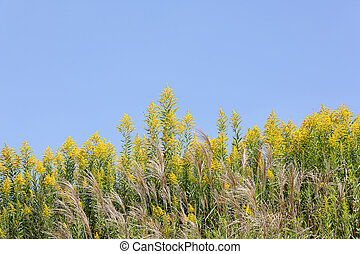 goldenrod field - giant goldenrod field against the clear...
