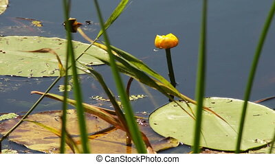 Lily and water lily in the river - Yellow lily growing in...