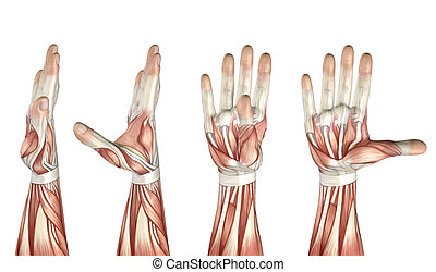 3D medical figure showing thumb abduction, adduction,...