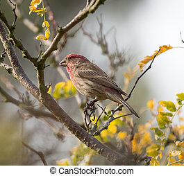 House Finch (Haemorhous mexicanus) - The house finch...