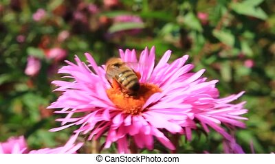 bee sitting on the asters - bee sitting on the aster and...