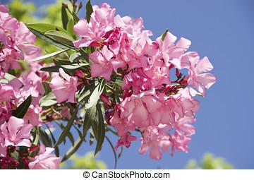 Pink oleander branch