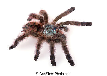 Avicularia Versicolor, Tarantula, Isolated on white...