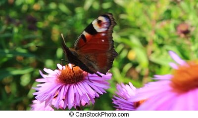 peacock eye on the aster - butterfly of peacock eye sitting...