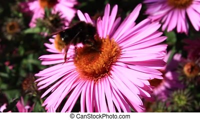 bumblebee sitting on the aster - bumblebee sits on the aster...